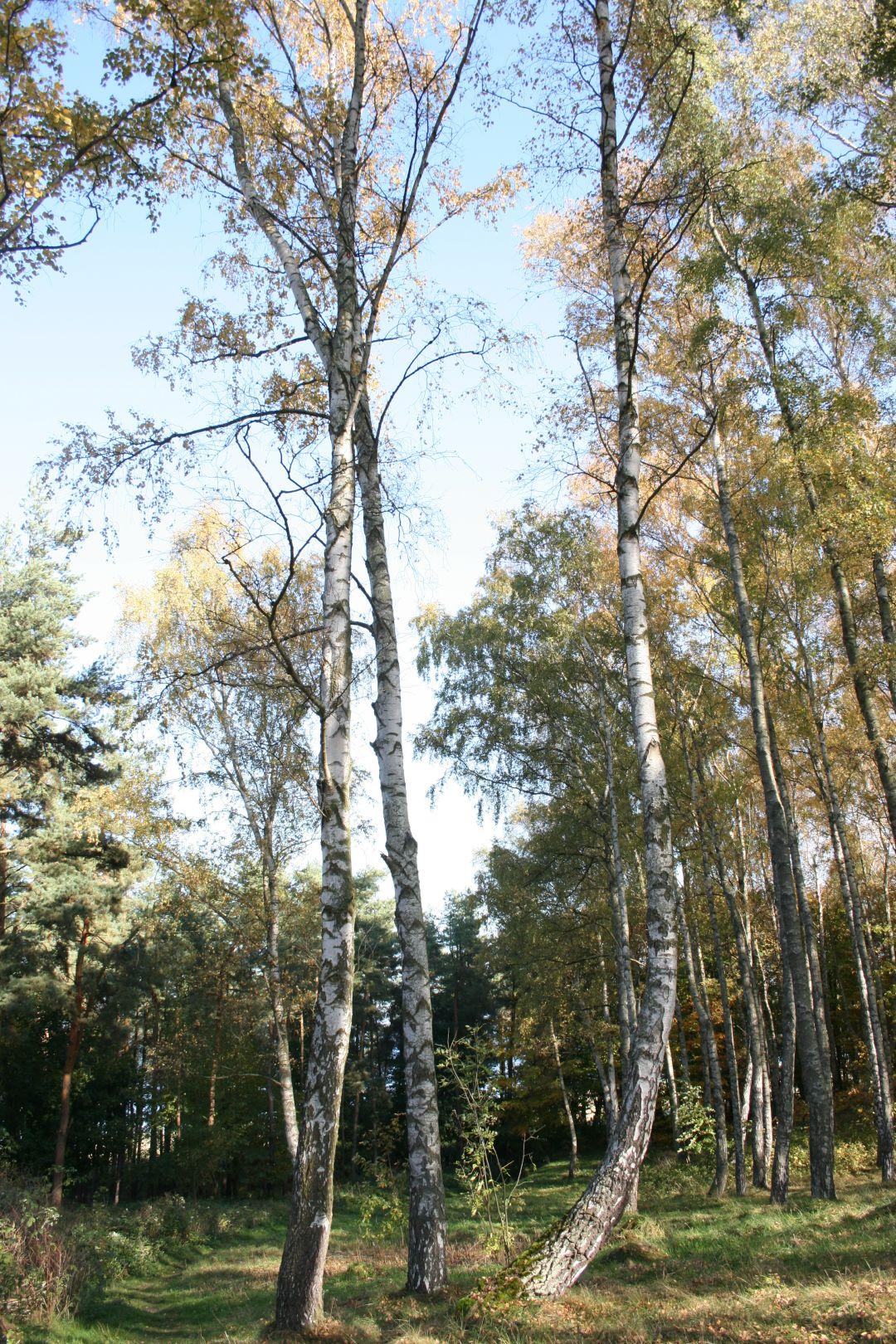 011_o_rzucewskim_lesie